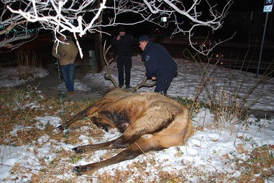 The elk that was shot Tuesday January 1 in Boulder  Courtesy photo by Lara Koenig