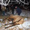 The elk that was shot Tuesday January 1 in Boulder <br /> Courtesy photo by Lara Koenig
