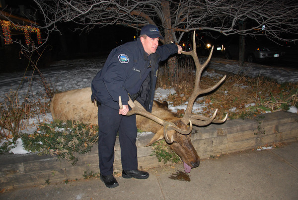 A Boulder Police Officer S. Carter poses with the elk that was shot Tuesday January 1 in Boulder <br /> Courtesy photo by Roger Koenig