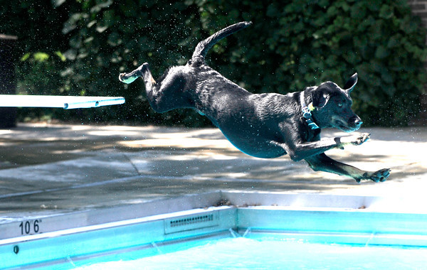 "Odin makes a leap from the diving board during Dog Dayz at Scott Carpenter Pool in Boulder<br /> on Friday, September 9, 2011. FOR MORE PHOTOS AND A VIDEO FROM DOG DAYZ GO TO  <a href=""http://WWW.DAILYCAMERA.COM"">http://WWW.DAILYCAMERA.COM</a><br /> Photo by Paul Aiken / The Camera / September 6 2011"