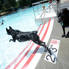 "Roscoe makes a leap into the water chasing a ball during Dog Dayz at Scott Carpenter Pool in Boulder on Friday, September 9, 2011. FOR MORE PHOTOS AND A VIDEO FROM DOG DAYZ GO TO  <a href=""http://WWW.DAILYCAMERA.COM"">http://WWW.DAILYCAMERA.COM</a><br /> Photo by Paul Aiken / The Camera / September 6 2011"
