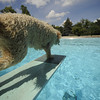 """Linus, who was not afraid of the diving board makes a leap during Dog Dayz at Scott Carpenter Pool in Boulder on Friday, September 9, 2011. FOR MORE PHOTOS AND A VIDEO FROM DOG DAYZ GO TO  <a href=""""http://WWW.DAILYCAMERA.COM"""">http://WWW.DAILYCAMERA.COM</a><br /> Photo by Paul Aiken / The Camera / September 6 2011"""