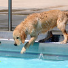 "Callie looks like she hopes not to have to jump in for the ball during Dog Dayz at Scott Carpenter Pool in Boulder<br /> on Friday, September 9, 2011. FOR MORE PHOTOS AND A VIDEO FROM DOG DAYZ GO TO  <a href=""http://WWW.DAILYCAMERA.COM"">http://WWW.DAILYCAMERA.COM</a><br /> Photo by Paul Aiken / The Camera / September 6 2011"