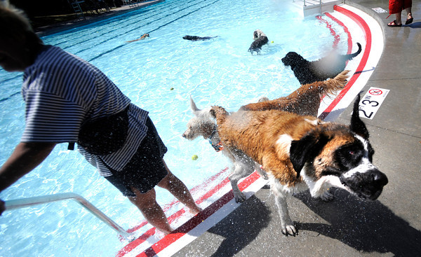 "Peanut the St. Bernard gives everyone nearby a shower as she shakes dry during Dog Dayz at Scott Carpenter Pool in Boulder<br /> on Friday, September 9, 2011. FOR MORE PHOTOS AND A VIDEO FROM DOG DAYZ GO TO  <a href=""http://WWW.DAILYCAMERA.COM"">http://WWW.DAILYCAMERA.COM</a><br /> Photo by Paul Aiken / The Camera / September 6 2011"
