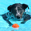 "Izzy tracks down her favorite orange ball during Dog Dayz at Scott Carpenter Pool in Boulder<br /> on Friday, September 9, 2011. FOR MORE PHOTOS AND A VIDEO FROM DOG DAYZ GO TO  <a href=""http://WWW.DAILYCAMERA.COM"">http://WWW.DAILYCAMERA.COM</a><br /> Photo by Paul Aiken / The Camera / September 6 2011"