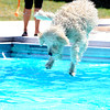"Linus, who was not afraid of the diving board makes a leap during Dog Dayz at Scott Carpenter Pool in Boulder on Friday, September 9, 2011. FOR MORE PHOTOS AND A VIDEO FROM DOG DAYZ GO TO  <a href=""http://WWW.DAILYCAMERA.COM"">http://WWW.DAILYCAMERA.COM</a><br /> Photo by Paul Aiken / The Camera / September 6 2011"