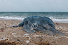 A jellyfish of type Aurelia aurita is washed out to the Mediterranean shore in Ashdod, Israel.
