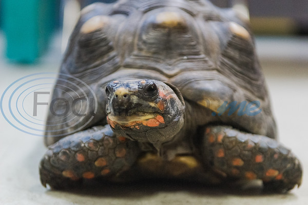 Carmen the tortoise sits on display for children to touch and feed during Darwin Day at Discovery Science Place Saturday, Feb. 16, 2020, in Tyler.