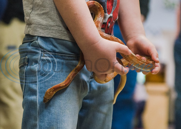 Four-year-old Charlotte Platt holds a red garden snake in her hands in an animal exhibition during Darwin Day at Discovery Science Place Saturday, Feb. 16, 2020, in Tyler.