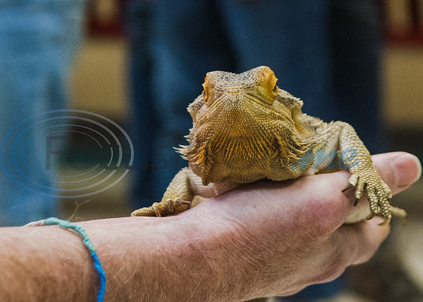 Richard Ott, recently retired fisheries biologist with Texas Parks and Wildlife, (left) holds his bearded dragon, Sydney,  in an animal exhibition during Darwin Day at Discovery Science Place Saturday, Feb. 16, 2020, in Tyler.