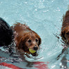 Dogs get to play in the pool during the annual Dog Dayz at Scott Carpenter Pool in Boulder, Colorado Monday September 17, 2012. Every year the pool is opened to dogs after the regular season is over and closed to humans. DAILY CAMERA/ JESSICA CUNEO