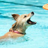 "Kallie the golden retriever tries to catch the frisbee while swimming during Dog Dayz at Scott Carpenter Pool on Monday, Sept. 17, in Boulder. For more photos and video of Dog Dayz go to  <a href=""http://www.dailycamera.com"">http://www.dailycamera.com</a><br /> Jeremy Papasso/ Camera"