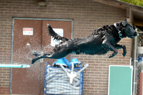 "Norman the dog leaps off the diving board while playing fetch during Dog Dayz at Scott Carpenter Pool on Monday, Sept. 17, in Boulder. For more photos and video of Dog Dayz go to  <a href=""http://www.dailycamera.com"">http://www.dailycamera.com</a><br /> Jeremy Papasso/ Camera"
