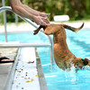 "John Beechen pushes his dog Chico into the pool during Dog Dayz at Scott Carpenter Pool on Monday, Sept. 17, in Boulder. For more photos and video of Dog Dayz go to  <a href=""http://www.dailycamera.com"">http://www.dailycamera.com</a><br /> Jeremy Papasso/ Camera"