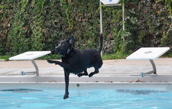Norman Martin leaps into the pool during the annual Dog Dayz at Scott Carpenter Pool in Boulder, Colorado Monday September 17, 2012. Every year the pool is opened to dogs after the regular season is over and closed to humans. DAILY CAMERA/ JESSICA CUNEO