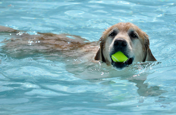 Dogs chase after tennis balls during the annual Dog Dayz at Scott Carpenter Pool in Boulder, Colorado Monday September 17, 2012. Every year the pool is opened to dogs after the regular season is over and closed to humans. DAILY CAMERA/ JESSICA CUNEO