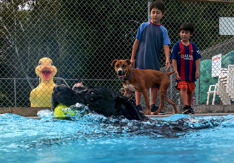 KRISTOPHER RADDER — BRATTLEBORO REFORMER<br /> Tails wagging, fur flying, as 23 dogs participated in the 2nd annual Doggie Plunge at Living Memorial Park, in Brattleboro, on Monday, Aug. 19, 2019. Two hundred and thirty dollars were collected from the event that was split between the Windham County Humane Society and the Brattleboro Recreation Department.