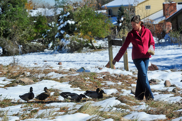 "DUCKS<br /> Brenda Cantor, a resident of the neighborhood near Maxwell Park off Linden Drive in Boulder, tries to lure a gaggle of ducks into following her home Thursday. The young ducks have no mother, and do not know how to migrate to warmer climes for the winter. Cantor and her neighbor Peter Lawton intend to take the ducks to the Greenwood Wildlife Rehabilitation Center in Lyons for the winter.. For more photos and a video about the ducks, see  <a href=""http://www.dailycamera.com"">http://www.dailycamera.com</a>.<br /> <br /> Photo by Marty Caivano/Nov. 3, 2011"