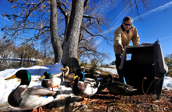 "DUCKS<br /> Peter Lawton, a resident of the neighborhood near Maxwell Park off Linden Drive in Boulder, tries to lure a gaggle of leery ducks into a cage on Thursday. The young ducks have no mother, and do not know how to migrate to warmer climes for the winter. Lawton intends to take them to the Greenwood Wildlife Rehabilitation Center in Lyons for the winter. For more photos and a video about the ducks, see  <a href=""http://www.dailycamera.com"">http://www.dailycamera.com</a>.<br /> <br /> Photo by Marty Caivano/Nov. 3, 2011"