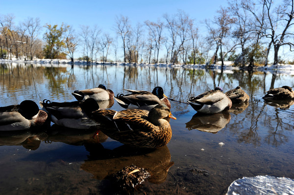 """DUCKS<br /> Young ducks hang out at the pond at Maxwell Park off Linden Drive in Boulder. For more photos and a video about the ducks, see  <a href=""""http://www.dailycamera.com"""">http://www.dailycamera.com</a>.<br /> <br /> Photo by Marty Caivano/Nov. 3, 2011"""