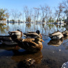 "DUCKS<br /> Young ducks hang out at the pond at Maxwell Park off Linden Drive in Boulder. For more photos and a video about the ducks, see  <a href=""http://www.dailycamera.com"">http://www.dailycamera.com</a>.<br /> <br /> Photo by Marty Caivano/Nov. 3, 2011"