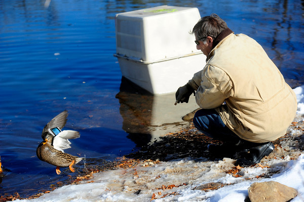 "DUCKS<br /> Peter Lawton, a resident of the neighborhood near Maxwell Park off Linden Drive in Boulder, tries to lure a gaggle of leery ducks into a cage on Thursday. The young ducks have no mother, and do not know how to migrate to warmer climes for the winter. Lawton intends to take them to the Greenwood Wildlife Rehabilitation Center in Lyons for the winter.For more photos and a video about the ducks, see  <a href=""http://www.dailycamera.com"">http://www.dailycamera.com</a>.<br /> <br /> Photo by Marty Caivano/Nov. 3, 2011"