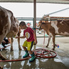 JAY YOUNG | THE GOSHEN NEWS<br /> Seven-year-old Nathan Rush, of Nappanee, spends Thursday morning washing cows at the fairgrounds as he prepares for the opening of the county fair Friday.