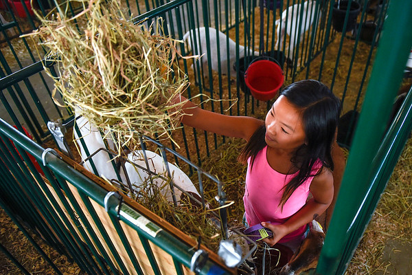 "BEN MIKESELL | THE GOSHEN NEWS<br /> Kya Elias, 10, of Goshen, tends to her goats Thursday afternoon at the Elkhart County 4-H Fairgrounds. Elias has been in the 4-H Goat Club for two years now. ""Getting up in the morning with the goats and taking care of them has been a big responsibility,"" Elias said."