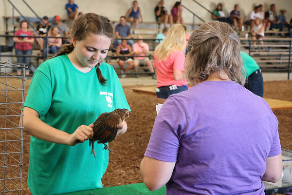 LIZ RIETH   THE GOSHEN NEWS Amy Herr, a champion from dog club, shows a chicken to judge Faith Scheffers at the Round Robin Showmanship Contest Thursday.