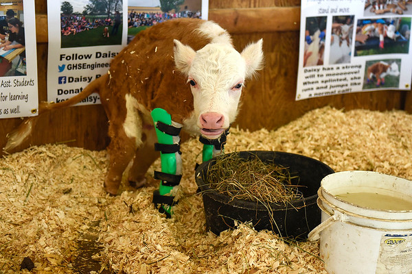 BEN MIKESELL | THE GOSHEN NEWS<br /> Daisy Redhawk lifts her head from her lunch Tuesday in the Young McDonald farm at the Elkhart County 4-H Fair.