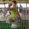 BEN MIKESELL | THE GOSHEN NEWS<br /> William Herr, 7, of Nappanee taps on the cage to get his chicken to crow during Tuesday morning's contest at the Poultry Barn. Herr's chicken crowed six times in the allotted five minutes, which was good enough for first place in the event.