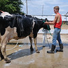 HALEY WARD | THE GOSHEN NEWS <br /> Josh Perkins, 18, washes his cow during the LaGrange County Fair on Monday. This is Perkins 10th year involved with 4-H.