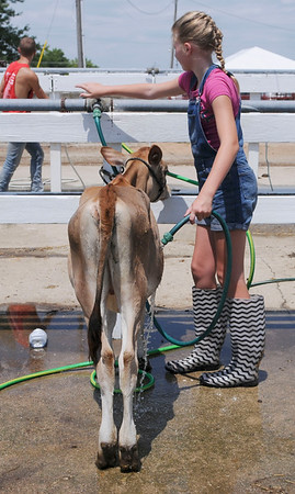 HALEY WARD | THE GOSHEN NEWS <br /> Jordan Norris, 12, washes her calf during the LaGrange County Fair on Monday.