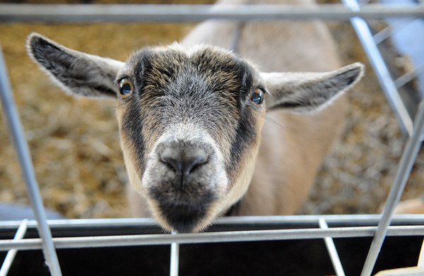HALEY WARD | THE GOSHEN NEWS <br /> A goat peeks throught the fence during the LaGrange County Fair on Monday.