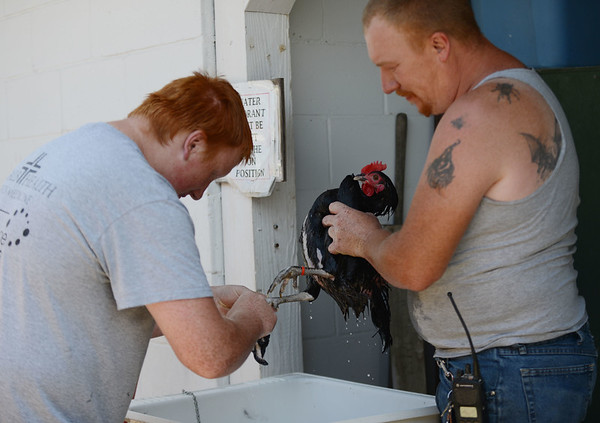 HALEY WARD | THE GOSHEN NEWS <br /> Tim McKee, Jr., 15, and his dad Tim McKee Sr. washes a rooster for Wednesday competition during the LaGrange County Fair on Monday. McKee has been involved with 4-H for 6 years.