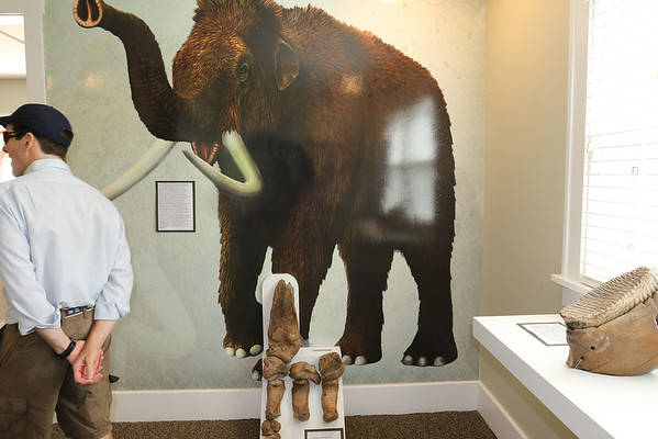 SHEILA SELMAN | THE GOSHEN NEWS<br /> Goshen Park Board member Jim Wellington walks by a wooly mammoth bones display at the Wayne Wogoman Welcome Center. The bones were found on the property.