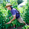 """Scott Hoffenberg tosses beets he has picked at the Flatirons Neighborhood Farm in Boulder <br /> Photo by Paul Aiken  August 4, 2011.<br /> FOR MORE PHOTOS FROM THE FARM GO TO  <a href=""""http://WWW.DAILYCAMERA.COM"""">http://WWW.DAILYCAMERA.COM</a>"""