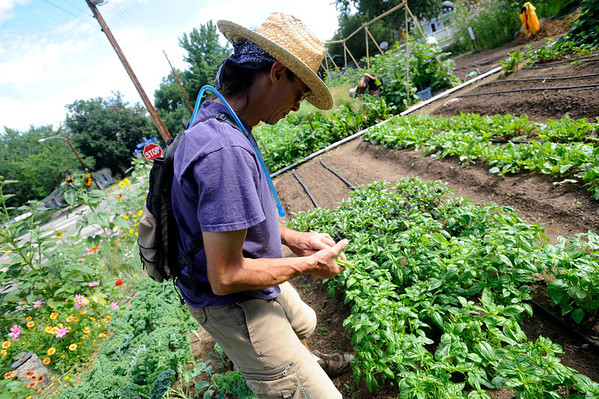 """Scott Hoffenberg looks over a plot of basil he is picking at the Flatirons Neighborhood Farm in Boulder <br /> Photo by Paul Aiken  August 4, 2011.<br /> FOR MORE PHOTOS FROM THE FARM GO TO  <a href=""""http://WWW.DAILYCAMERA.COM"""">http://WWW.DAILYCAMERA.COM</a>"""