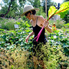 """Wendy Hoffenberg picks swiss chard at the Flatirons Neighborhood Farm in Boulder <br /> Photo by Paul Aiken  August 4, 2011.<br /> FOR MORE PHOTOS FROM THE FARM GO TO  <a href=""""http://WWW.DAILYCAMERA.COM"""">http://WWW.DAILYCAMERA.COM</a>"""