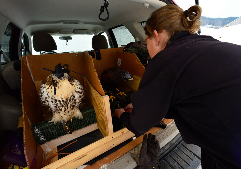 KRISTOPHER RADDER - BRATTLEBORO REFORMER<br /> Carson, a female Harris's Hawk, is being loaded onto a cage before going out on a hunt on Friday, Jan. 19, 2017. The cage is designed to keep the birds safe during travel and to keep them out of reach of each other. Next to Carson is Jessica's personal falconry bird, an immature red-tailed hawk.