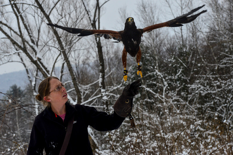 KRISTOPHER RADDER - BRATTLEBORO REFORMER<br /> Carson, a female Harris's Hawk, leaving the glove to return to the trees during a hunt in Rutland on Jan. 19, 2018.