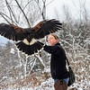 KRISTOPHER RADDER - BRATTLEBORO REFORMER<br />  Carson, a female Harris's Hawk, returning to the glove of Jessica Snyder, from New England Falconry, for a reward during a hunt in Rutland on Jan. 19, 2018.