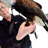 KRISTOPHER RADDER - BRATTLEBORO REFORMER<br /> Jessica Snyder, of New England Falconry, preps Carson, a Harris's Hawk, for the hunt in Rutland on Friday, Jan. 19, 2018. A traditional falconry bell is placed around the leg as a way of keeping track of the bird flying amongst the trees.