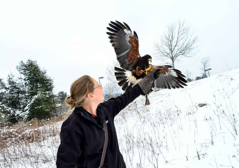 KRISTOPHER RADDER - BRATTLEBORO REFORMER<br /> Carson, a Harris's Hawk from the New England Falconry program, returning to the glove of Jessica Snyder during a hunt in Rutland on Jan. 19, 2018.