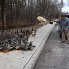 ELODIE REED - FOR THE BENNINGTON BANNER Don Bailey, 88, drives four days a week, about 30 miles out and 30 miles back from his New York home, to feed the ducks along Park Street in Bennington.