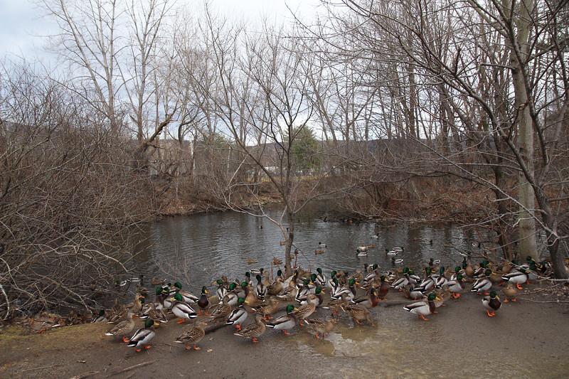 ELODIE REED - FOR THE BENNINGTON BANNER Ducks gather along Park Street in Bennington after lunchtime.