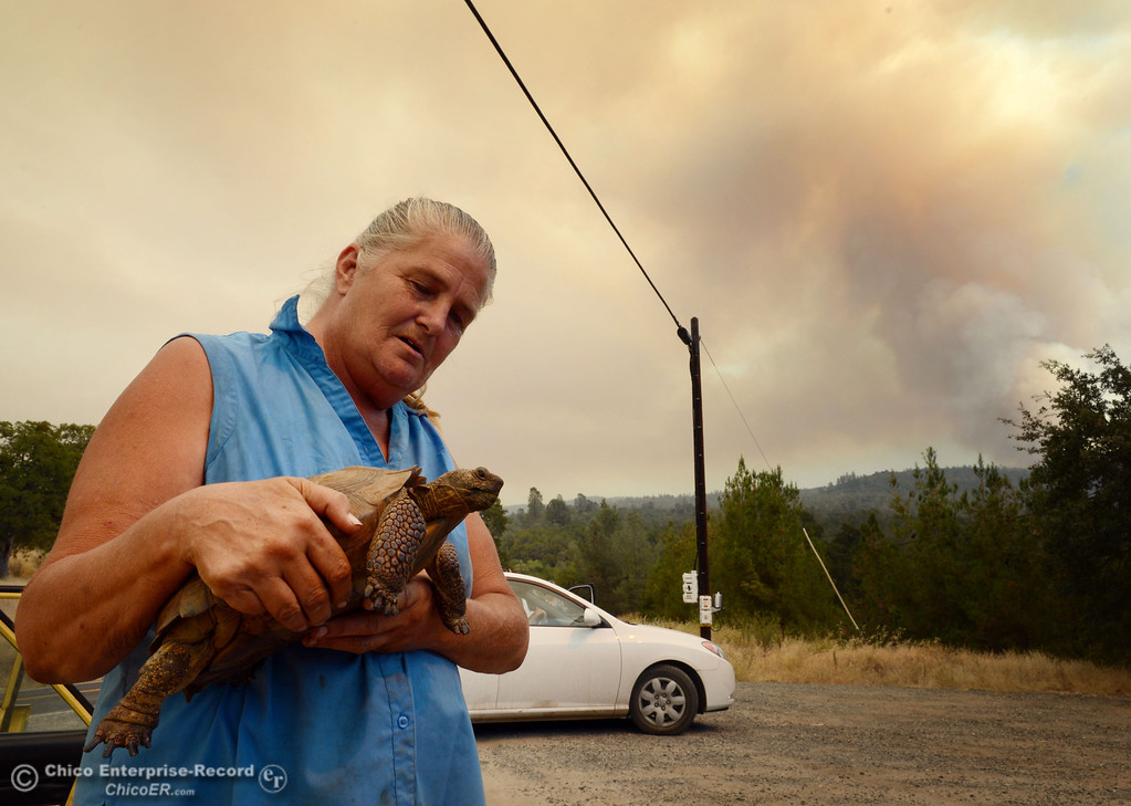 ". Sharon Carson holds her desert tortoise ""Awesome\"" after evacuating  from the Swedes Fire as mandatory evacuation areas around the Swedes Fire southeast of Oroville were expanded just after noon Saturday, August 17, 2013 in Oroville, Calif.  (Jason Halley/Chico Enterprise-Record)"
