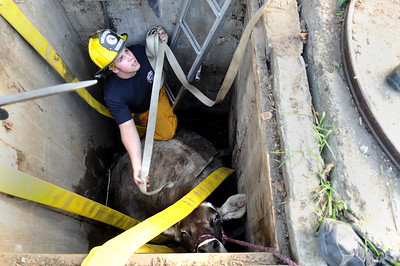 Mountain View firefighter Ben Carter works to rescue a cow that fell into a well on Friday, Oct. 7, at 12166 Jay Rd. in Erie. For more photos and video of the rescue go to www.dailycamera.com Jeremy Papasso/ Camera