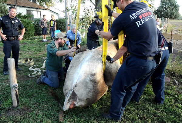 """Mountain View firefighters work to rescue a cow that had fallen into a well on Friday, Oct. 7, at 12166 Jay Rd. in Erie. For more photos and video of the rescue go to  <a href=""""http://www.dailycamera.com"""">http://www.dailycamera.com</a><br /> Jeremy Papasso/ Camera"""