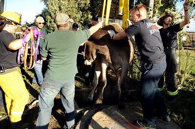 Mountain View firefighters work together to rescue a cow that had fallen into a well on Friday, Oct. 7, at 12166 Jay Rd. in Erie. For more photos and video of the rescue go to www.dailycamera.com Jeremy Papasso/ Camera